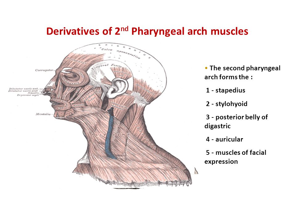 Derivatives of 2nd Pharyngeal arch muscles