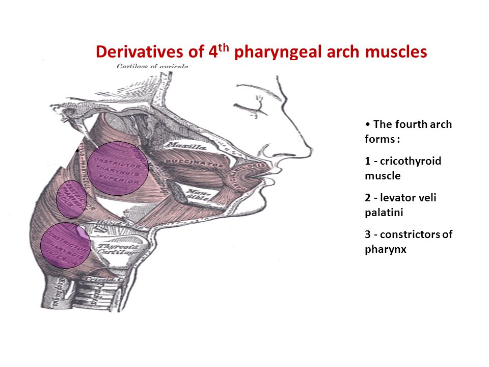 Derivatives of 4th pharyngeal arch muscles