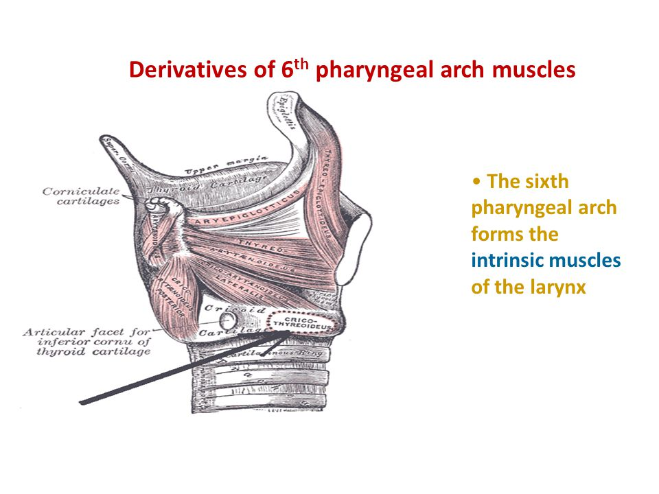 Derivatives of 6th pharyngeal arch muscles