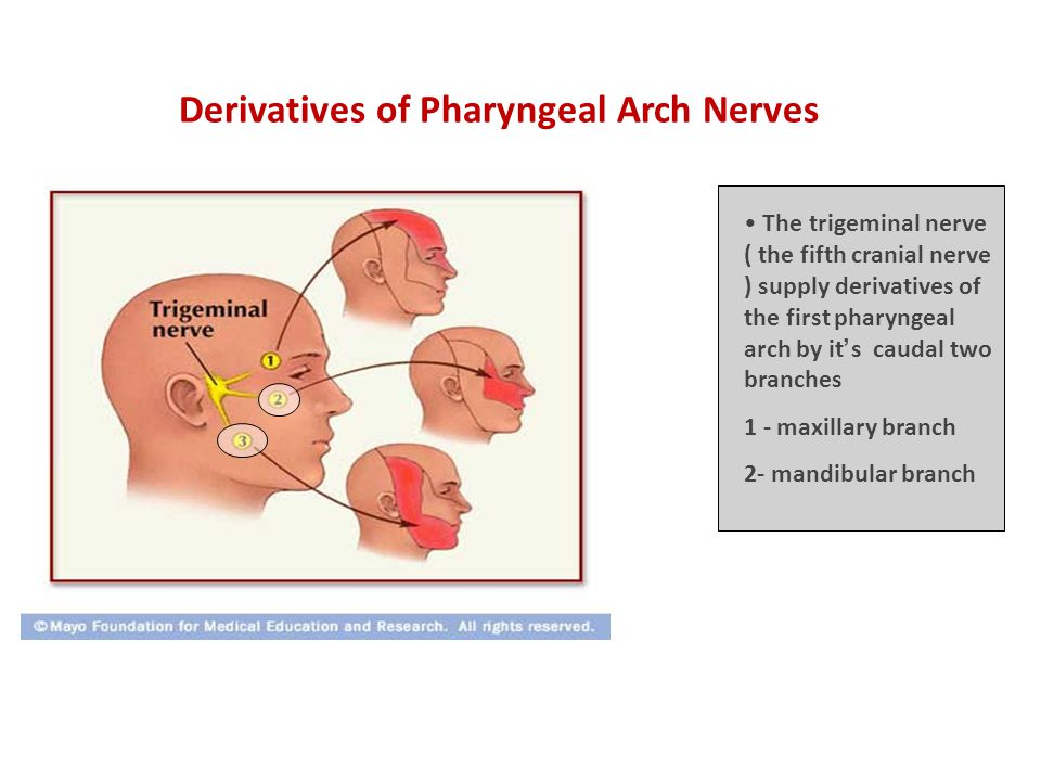 Derivatives of Pharyngeal Arch Nerves