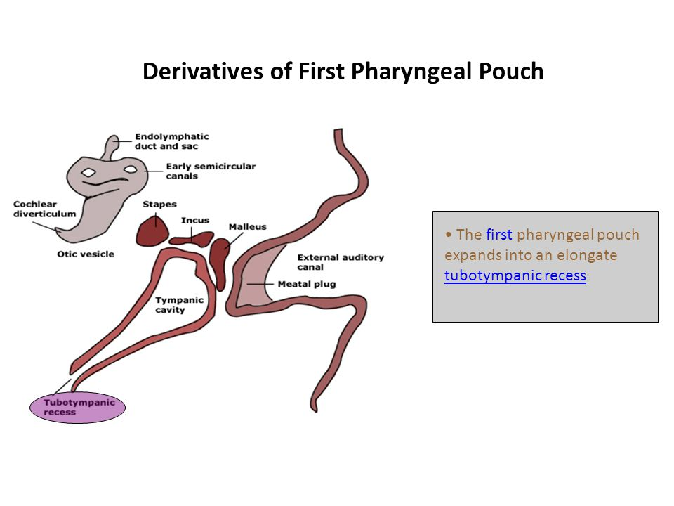 Derivatives of First Pharyngeal Pouch