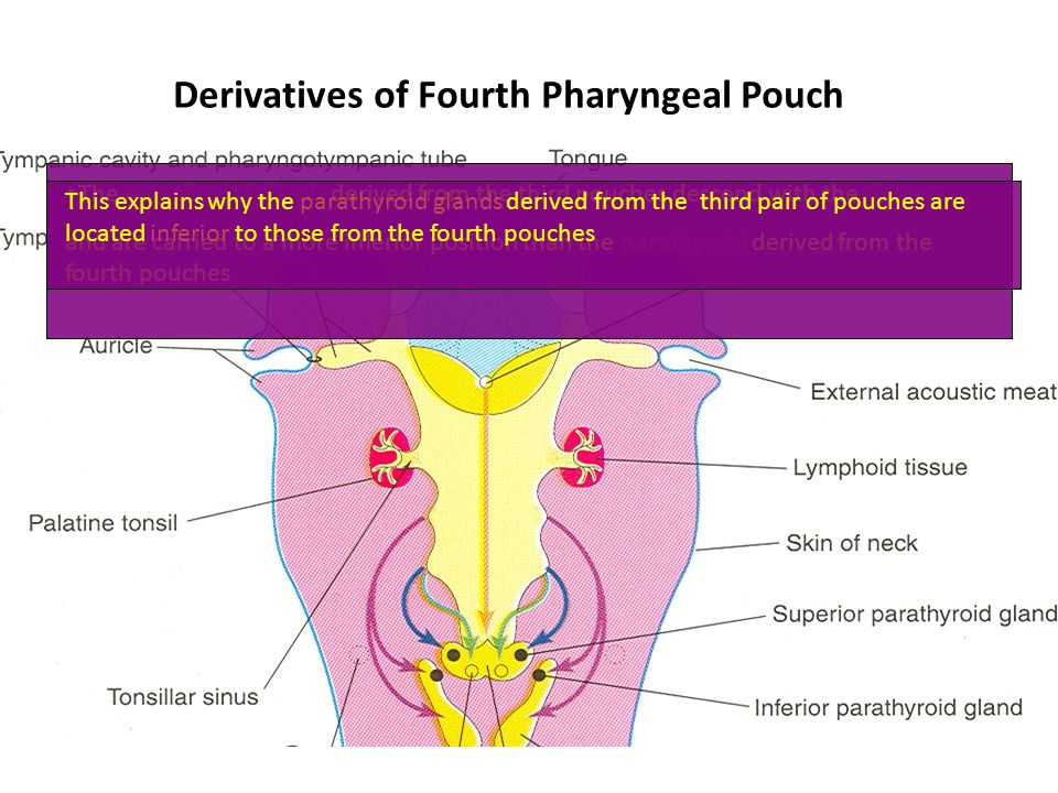 Derivatives of Fourth Pharyngeal Pouch
