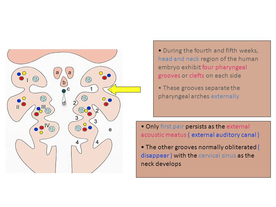 During the fourth and fifth weeks, head and neck region of the human embryo exhibit four pharyngeal grooves or clefts on each side