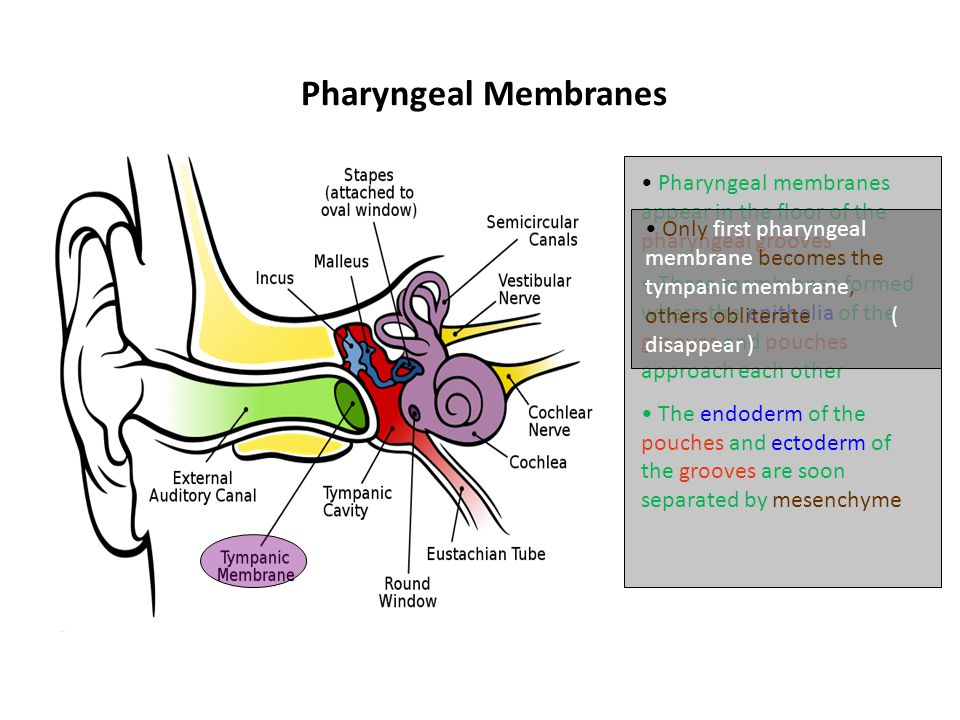 Pharyngeal Membranes Pharyngeal membranes appear in the floor of the pharyngeal grooves.