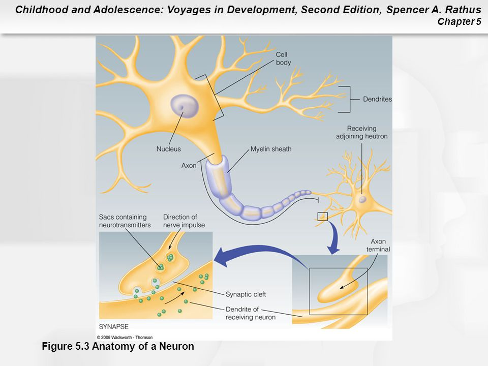 Figure 5.3 Anatomy of a Neuron