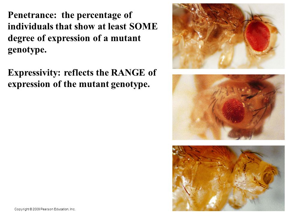 Expressivity: reflects the RANGE of expression of the mutant genotype.