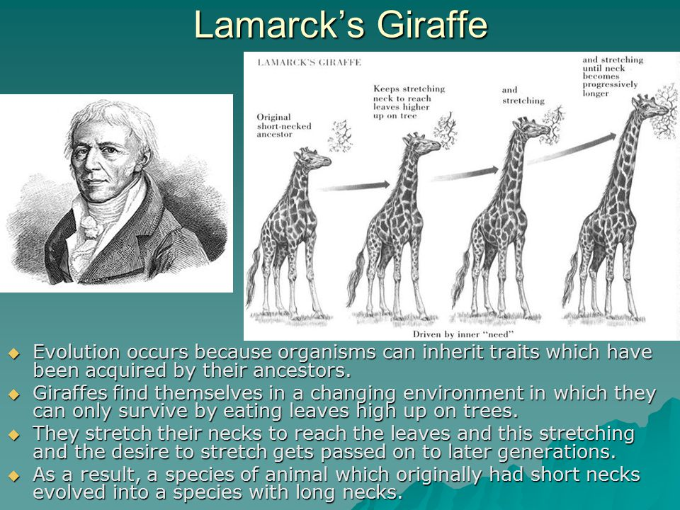 Lamarck's Giraffe Evolution occurs because organisms can inherit traits which have been acquired by their ancestors.