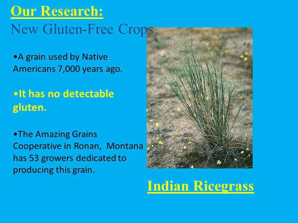Our Research: New Gluten-Free Crops