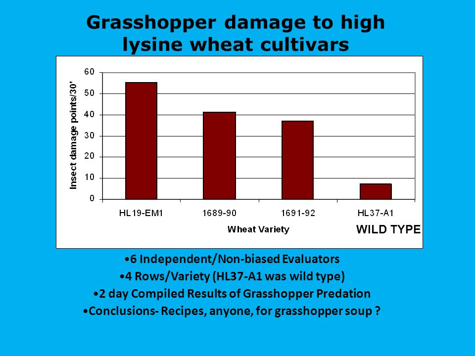 Grasshopper damage to high lysine wheat cultivars