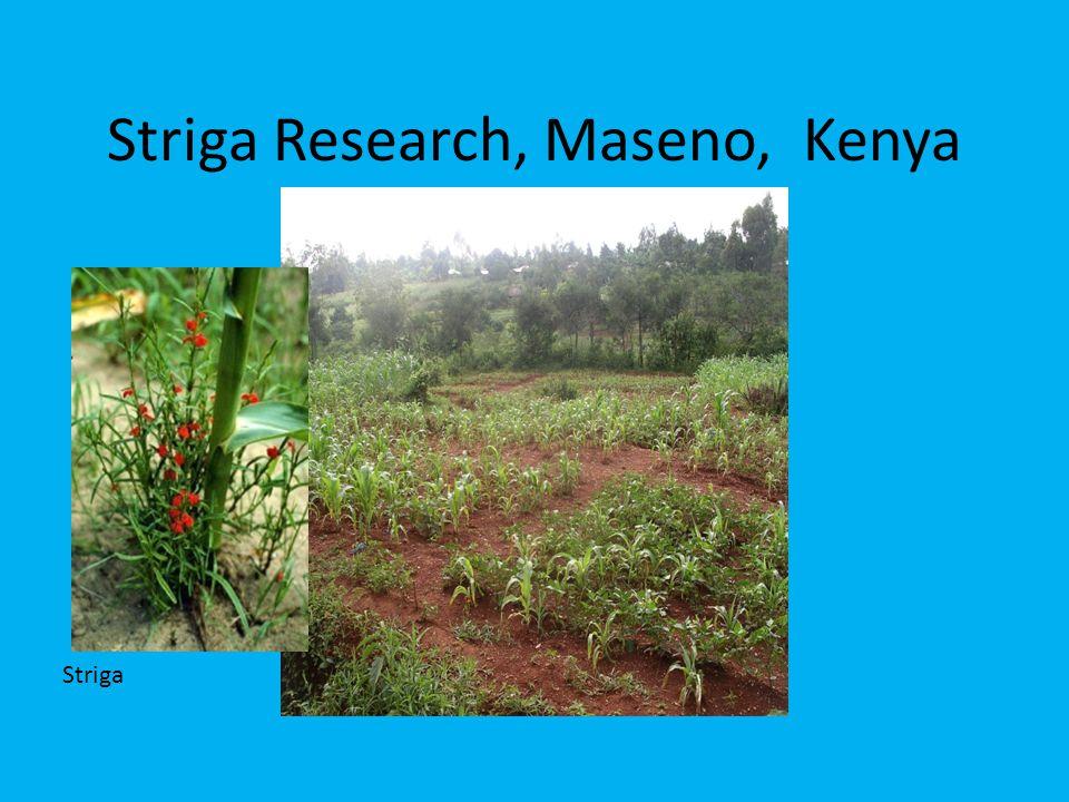 Striga Research, Maseno, Kenya