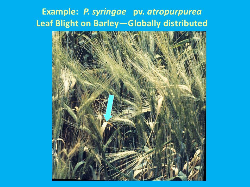 Example: P. syringae pv. atropurpurea