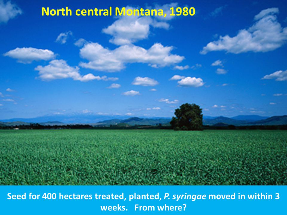 North central Montana, 1980 Seed for 400 hectares treated, planted, P.
