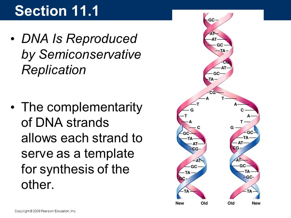 Section 11.1 DNA Is Reproduced by Semiconservative Replication
