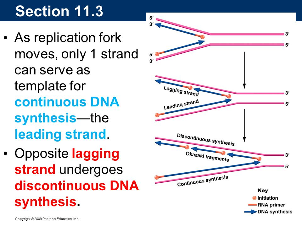 Section 11.3 As replication fork moves, only 1 strand can serve as template for continuous DNA synthesis—the leading strand.