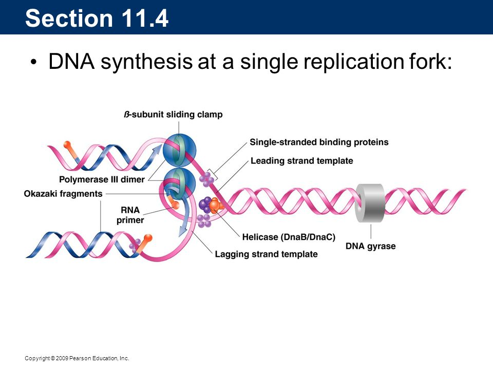 Section 11.4 DNA synthesis at a single replication fork: