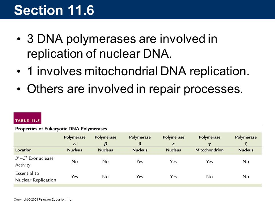 Section 11.6 3 DNA polymerases are involved in replication of nuclear DNA. 1 involves mitochondrial DNA replication.