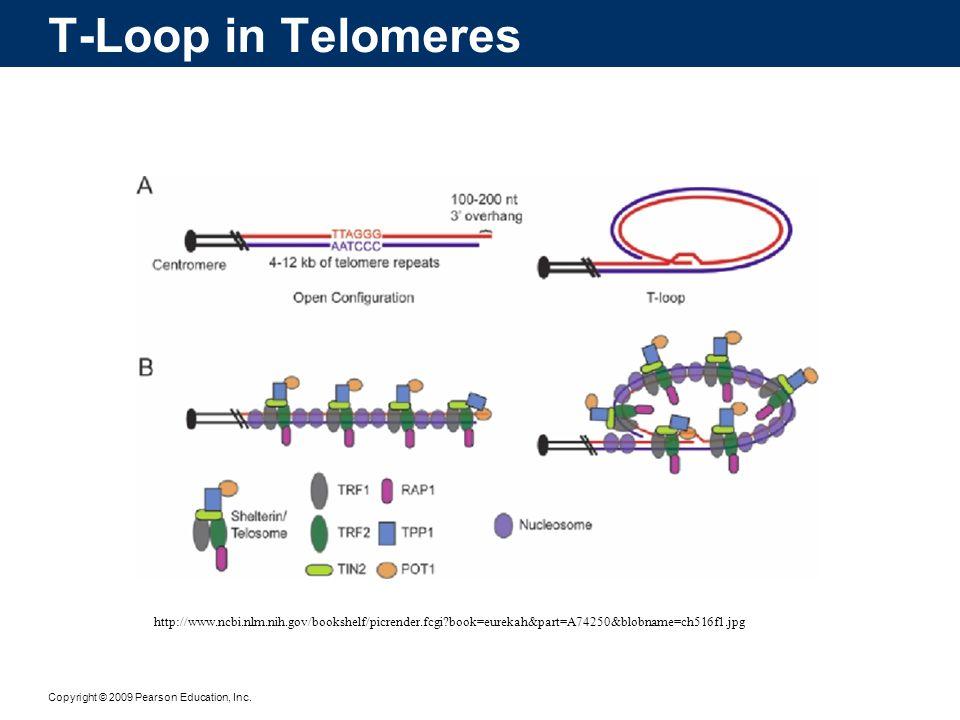 T-Loop in Telomeres http://www.ncbi.nlm.nih.gov/bookshelf/picrender.fcgi book=eurekah&part=A74250&blobname=ch516f1.jpg.