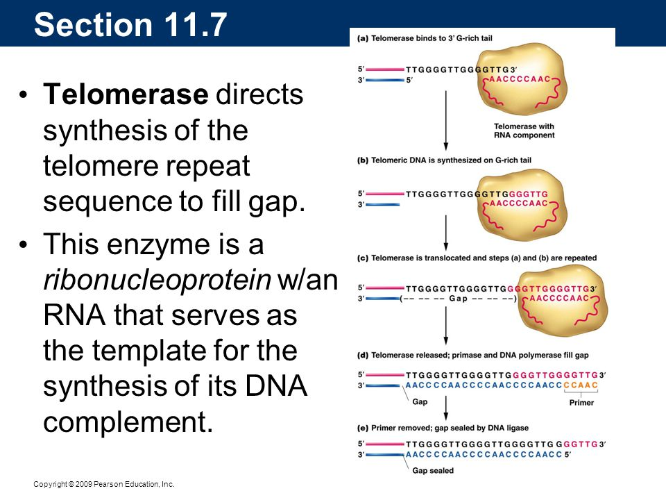 Section 11.7 Telomerase directs synthesis of the telomere repeat sequence to fill gap.