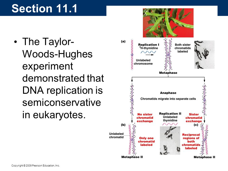 Section 11.1 The Taylor-Woods-Hughes experiment demonstrated that DNA replication is semiconservative in eukaryotes.