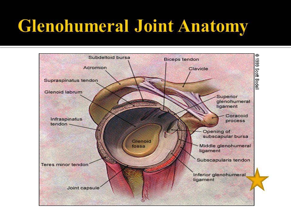 Glenohumeral Joint Anatomy