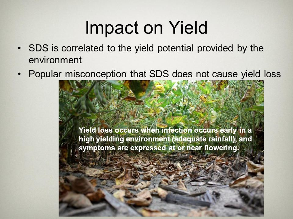 Impact on Yield SDS is correlated to the yield potential provided by the environment. Popular misconception that SDS does not cause yield loss.