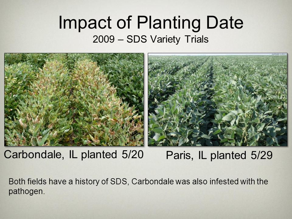 Impact of Planting Date 2009 – SDS Variety Trials