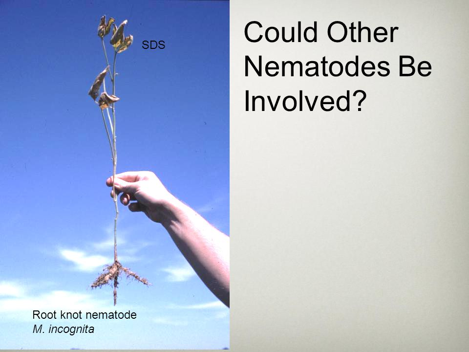 Could Other Nematodes Be Involved