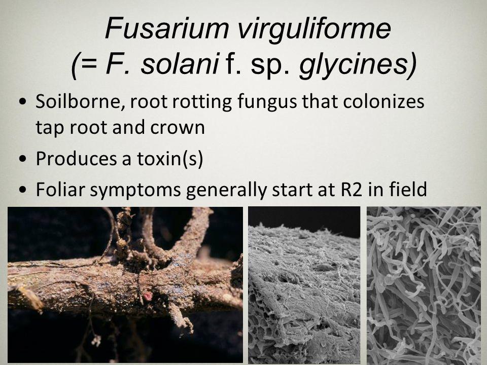 Fusarium virguliforme (= F. solani f. sp. glycines)