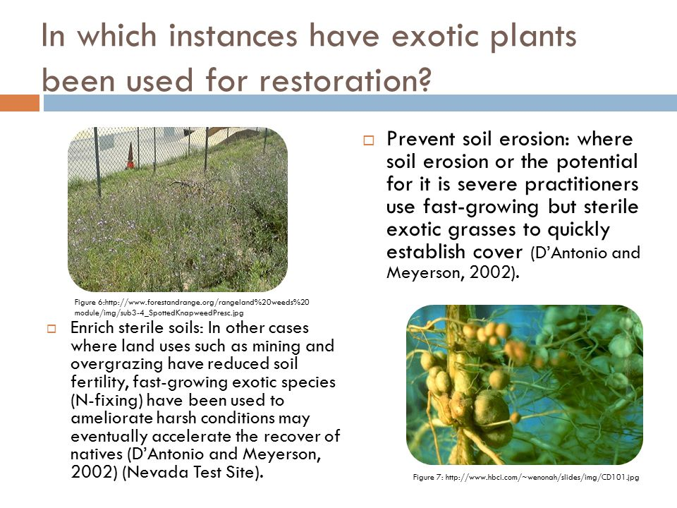 In which instances have exotic plants been used for restoration