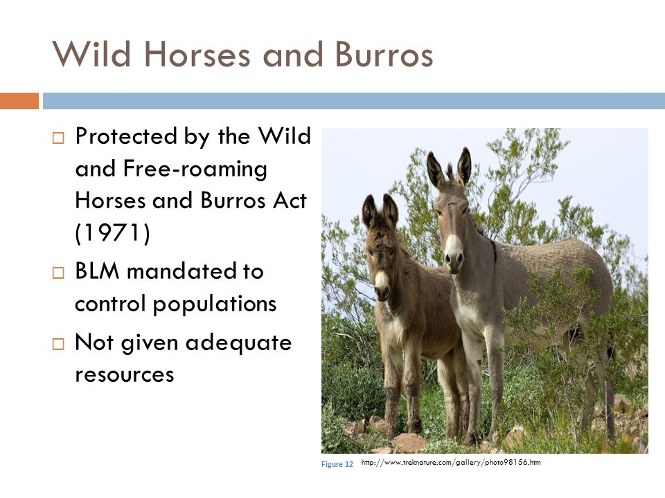 Wild Horses and Burros Protected by the Wild and Free-roaming Horses and Burros Act (1971) BLM mandated to control populations.