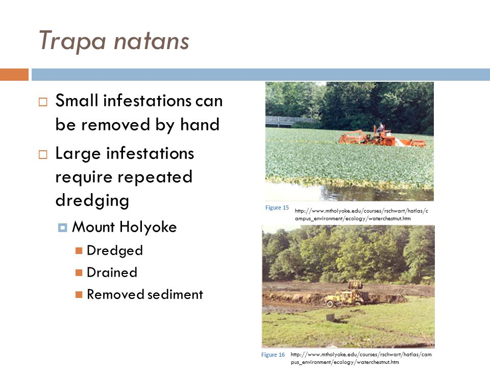 Trapa natans Small infestations can be removed by hand