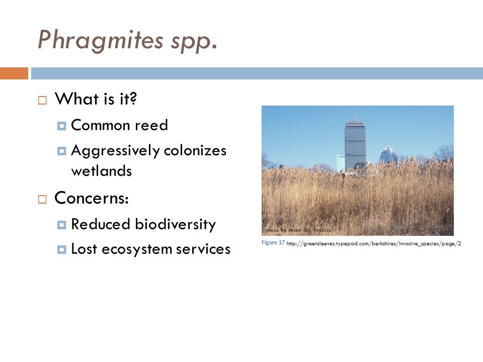 Phragmites spp. What is it Concerns: Common reed