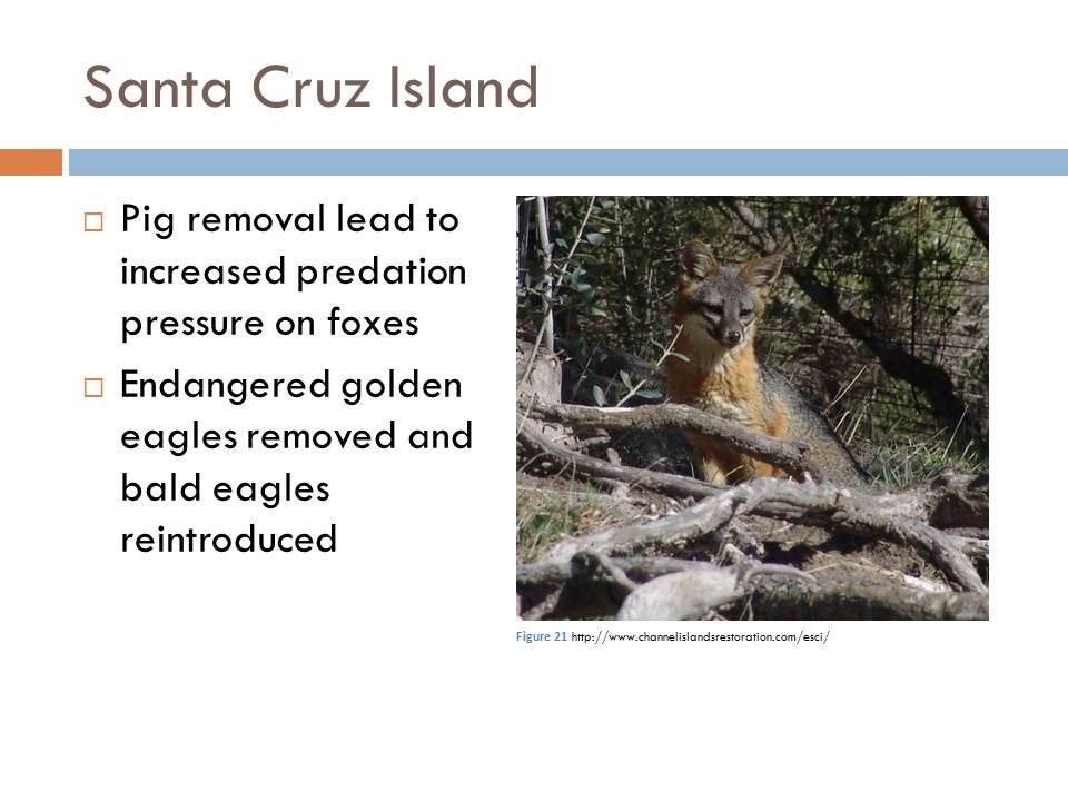 Santa Cruz Island Pig removal lead to increased predation pressure on foxes. Endangered golden eagles removed and bald eagles reintroduced.