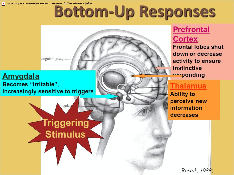 Bottom-Up Responses Triggering Stimulus Prefrontal Cortex Amygdala