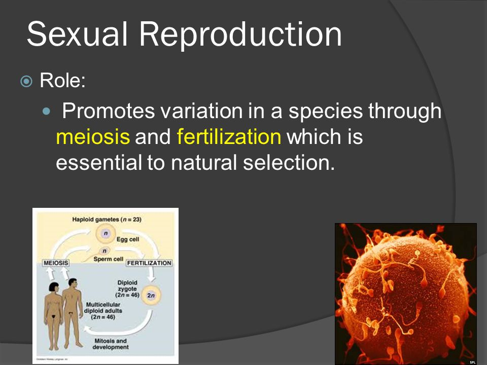 Sexual Reproduction Role: Promotes variation in a species through meiosis and fertilization which is essential to natural selection.