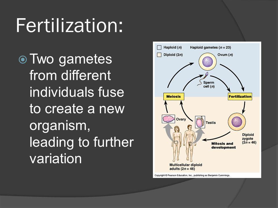 Fertilization: Two gametes from different individuals fuse to create a new organism, leading to further variation.