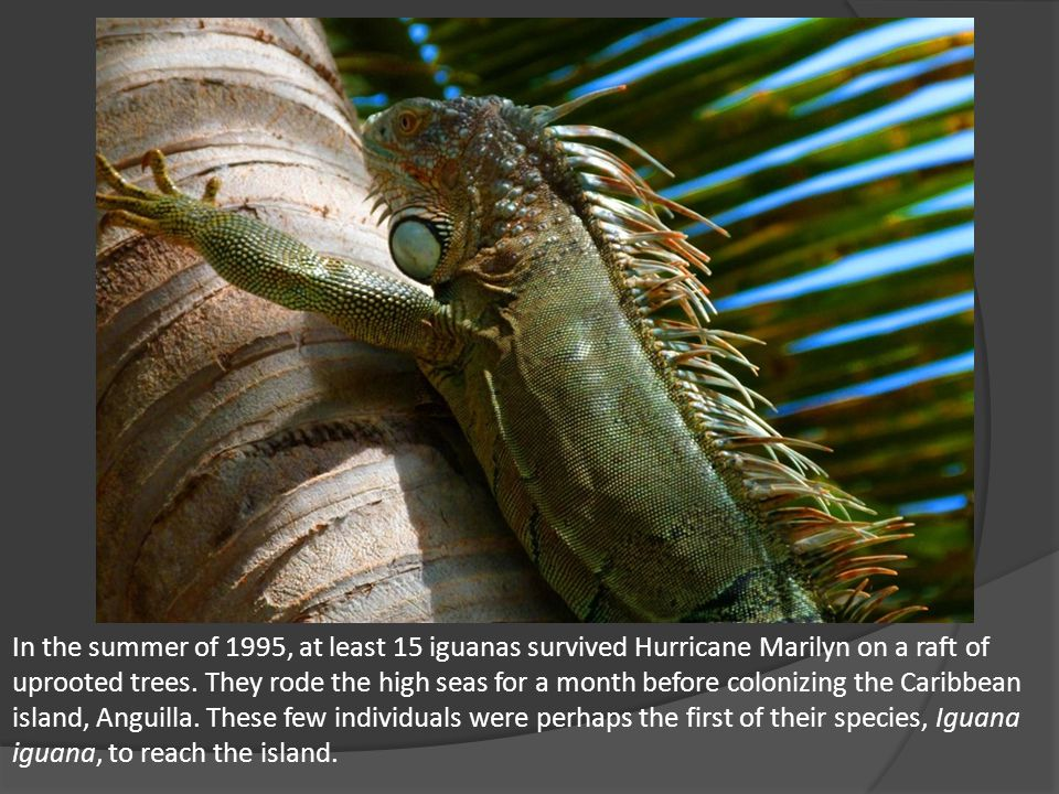 In the summer of 1995, at least 15 iguanas survived Hurricane Marilyn on a raft of uprooted trees.