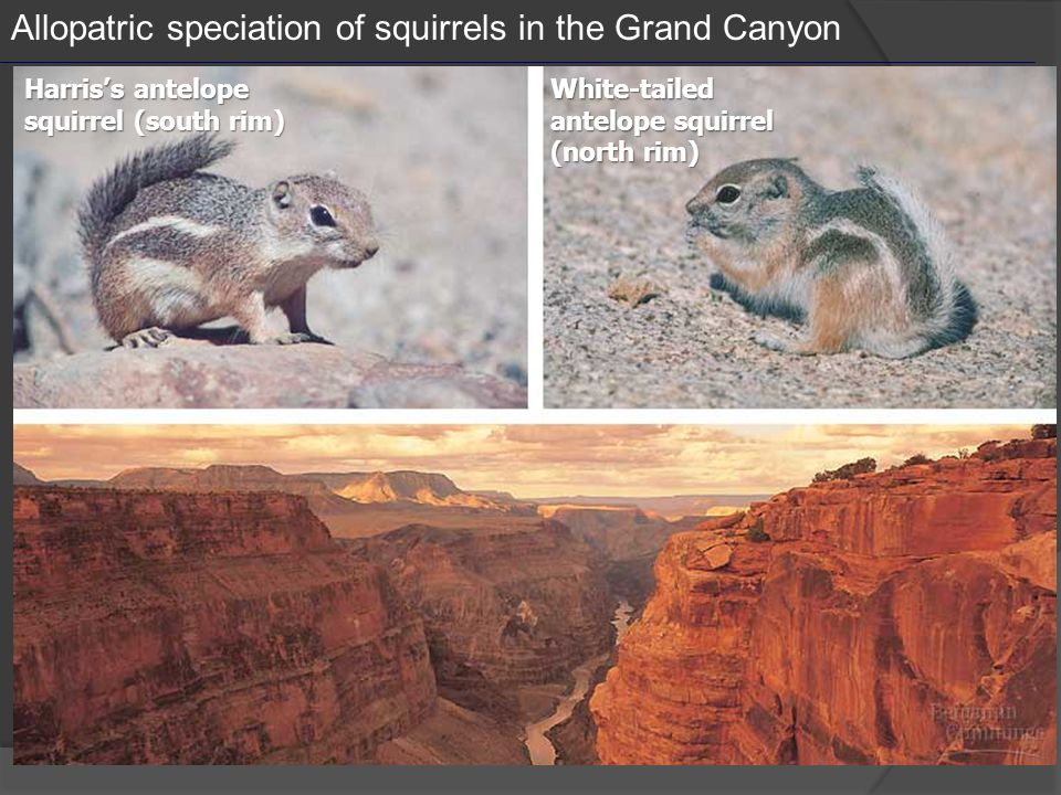 Allopatric speciation of squirrels in the Grand Canyon