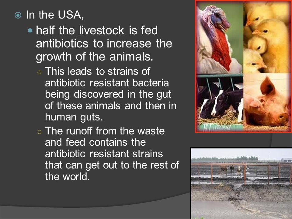 In the USA, half the livestock is fed antibiotics to increase the growth of the animals.