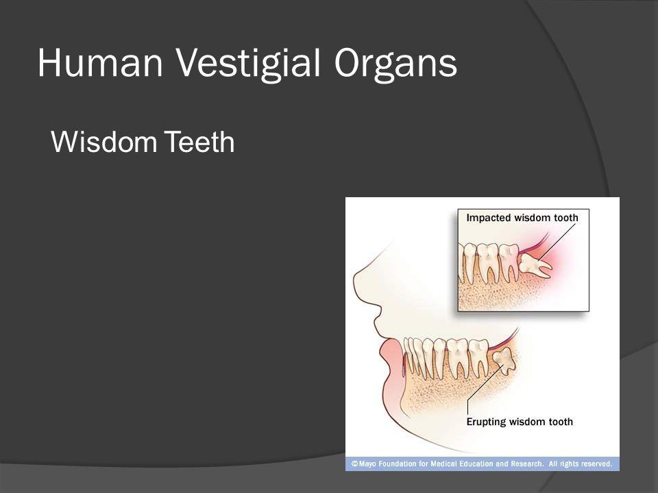 Human Vestigial Organs