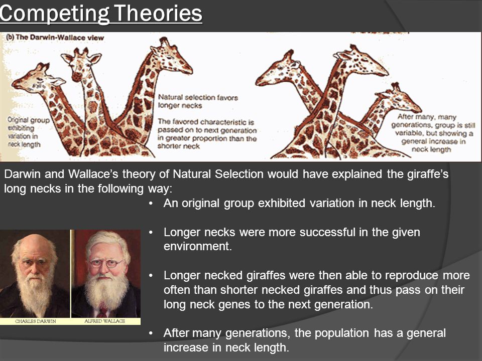 Competing Theories Darwin and Wallace's theory of Natural Selection would have explained the giraffe's long necks in the following way: