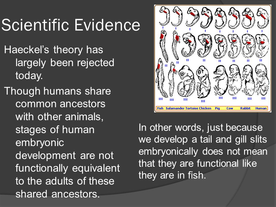 Scientific Evidence Haeckel's theory has largely been rejected today.