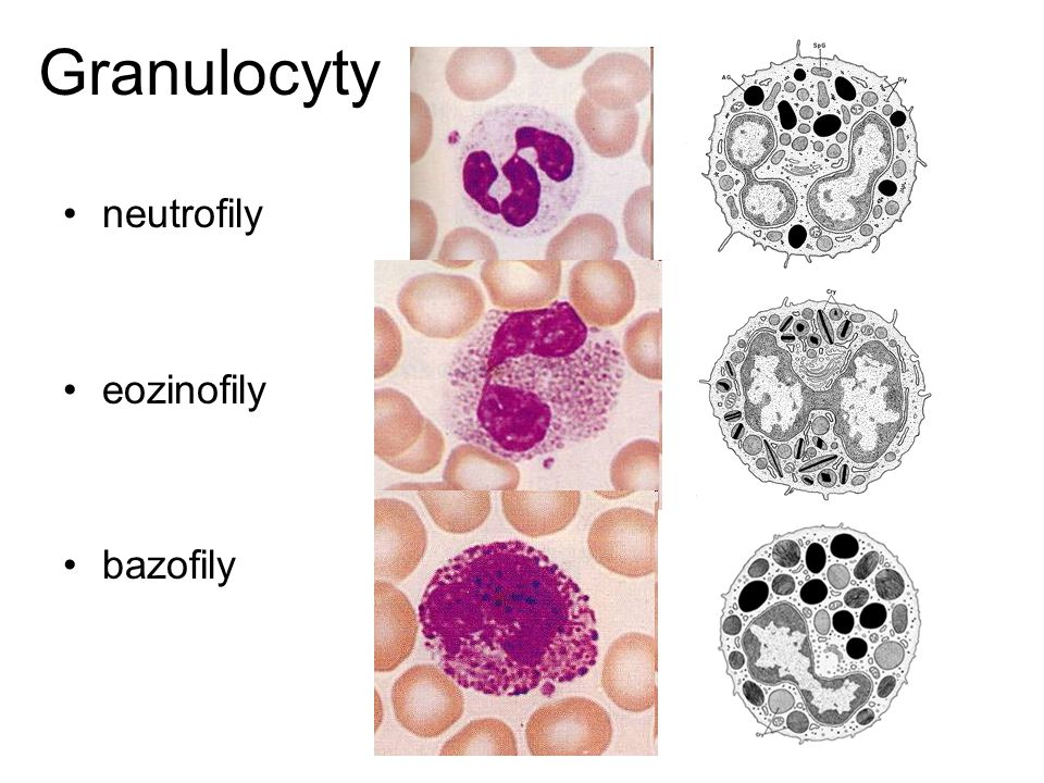 Granulocyty neutrofily eozinofily bazofily