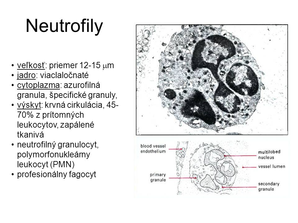 Neutrofily veľkosť: priemer 12-15 m jadro: viaclaločnaté