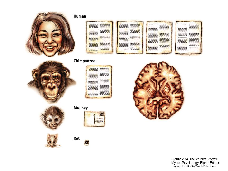 Figure 2.24 The cerebral cortex Myers: Psychology, Eighth Edition Copyright © 2007 by Worth Publishers
