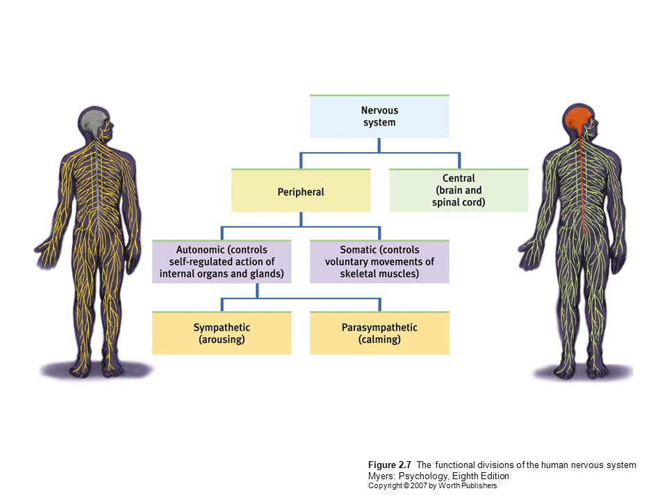 Figure 2.7 The functional divisions of the human nervous system Myers: Psychology, Eighth Edition Copyright © 2007 by Worth Publishers