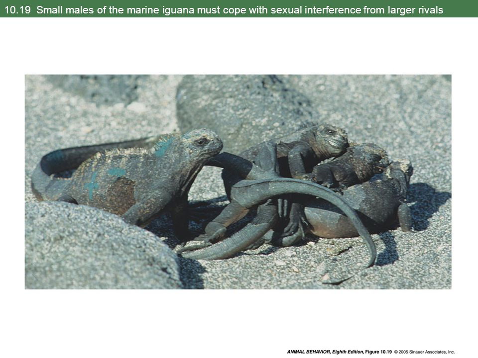 10.19 Small males of the marine iguana must cope with sexual interference from larger rivals