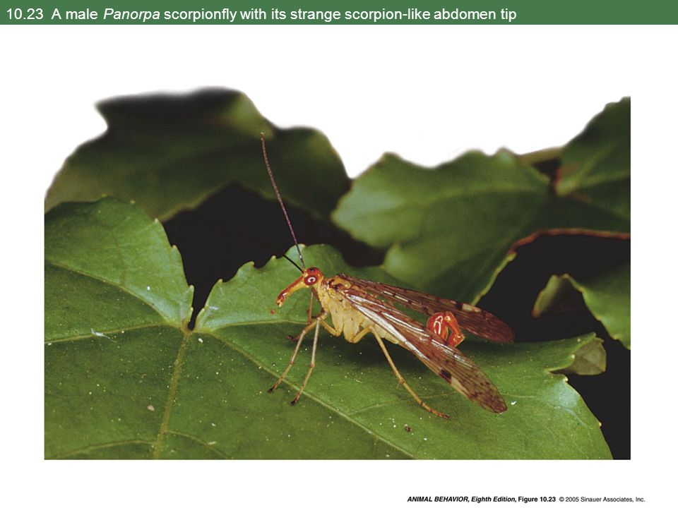 10.23 A male Panorpa scorpionfly with its strange scorpion-like abdomen tip