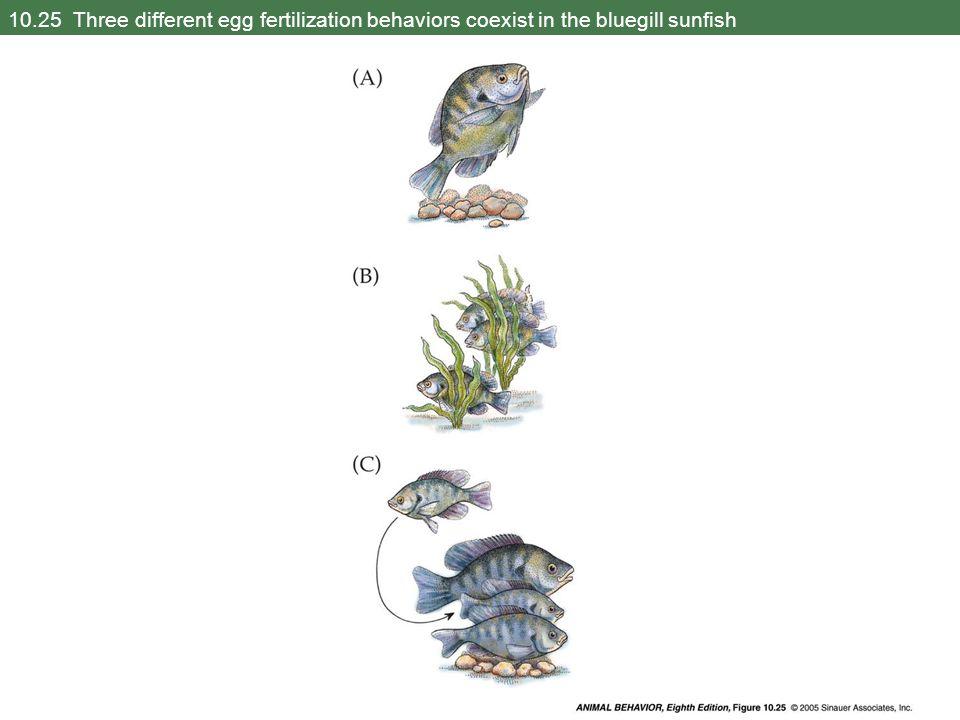 10.25 Three different egg fertilization behaviors coexist in the bluegill sunfish