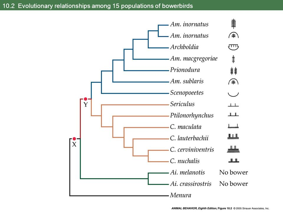 10.2 Evolutionary relationships among 15 populations of bowerbirds